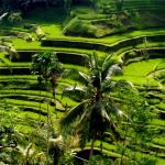 05-bali-kintamani-tour-tegalalang-rice-terrace